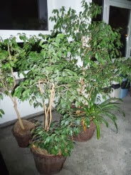 Figowiec benjamiński Ficus benjamina