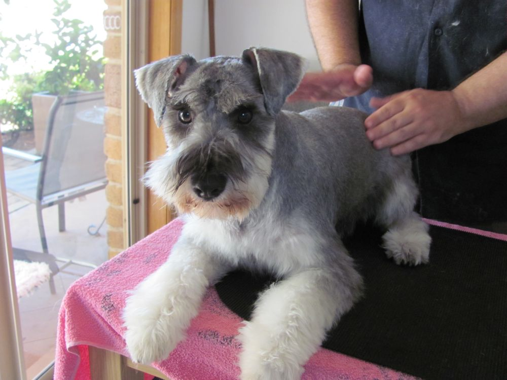 Rubie A Miniature Schnauzer More Groomin And Some Play