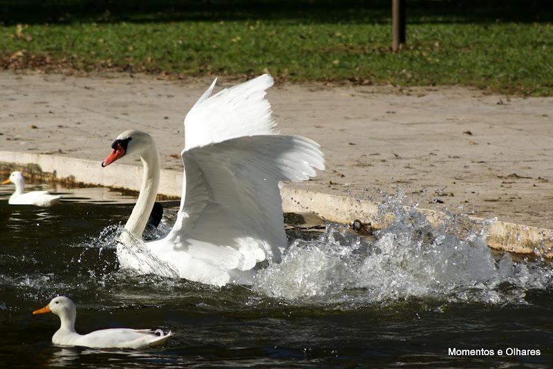 O cisne zangado
