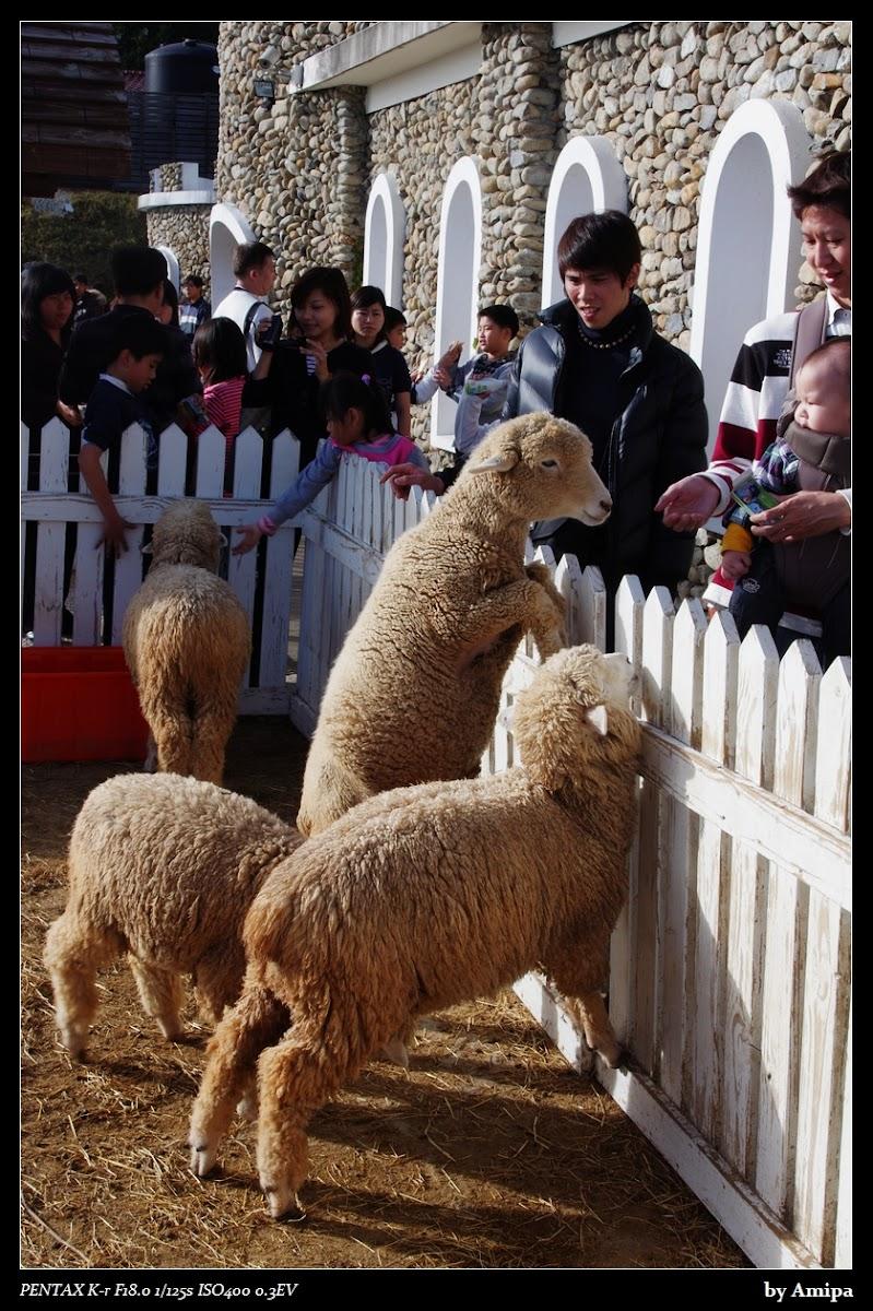 新年清境農場看綿羊去~~~