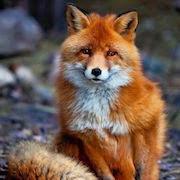 К чему снится лиса?