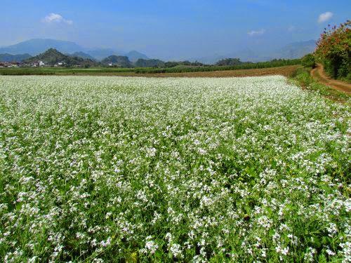 vietravel moc chau mua hoa cai trang 7%281%29 Mộc Châu một mùa hoa nữa lại về