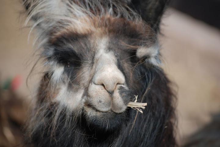 argentian llama