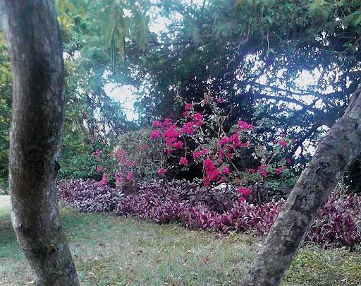 Trinitaria Bougainvillea glabra I