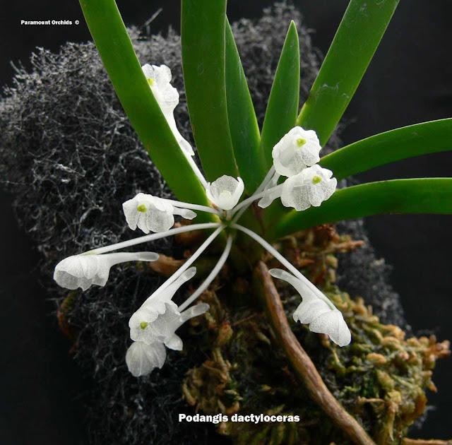 Растения из Тюмени. Краткий обзор - Страница 7 Podangis%252520dactyloceras