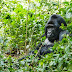 Where to go for Mountain Gorilla trekking - Uganda, Rwanda or DR Congo?