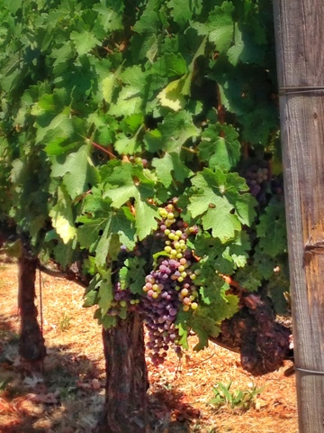 grapes at Robert Mondavi