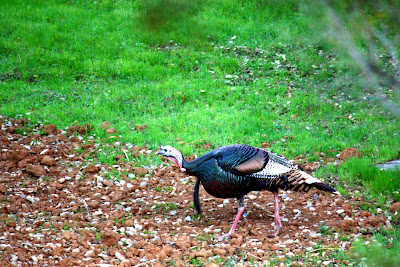 Wild Turkey in Portola Valley