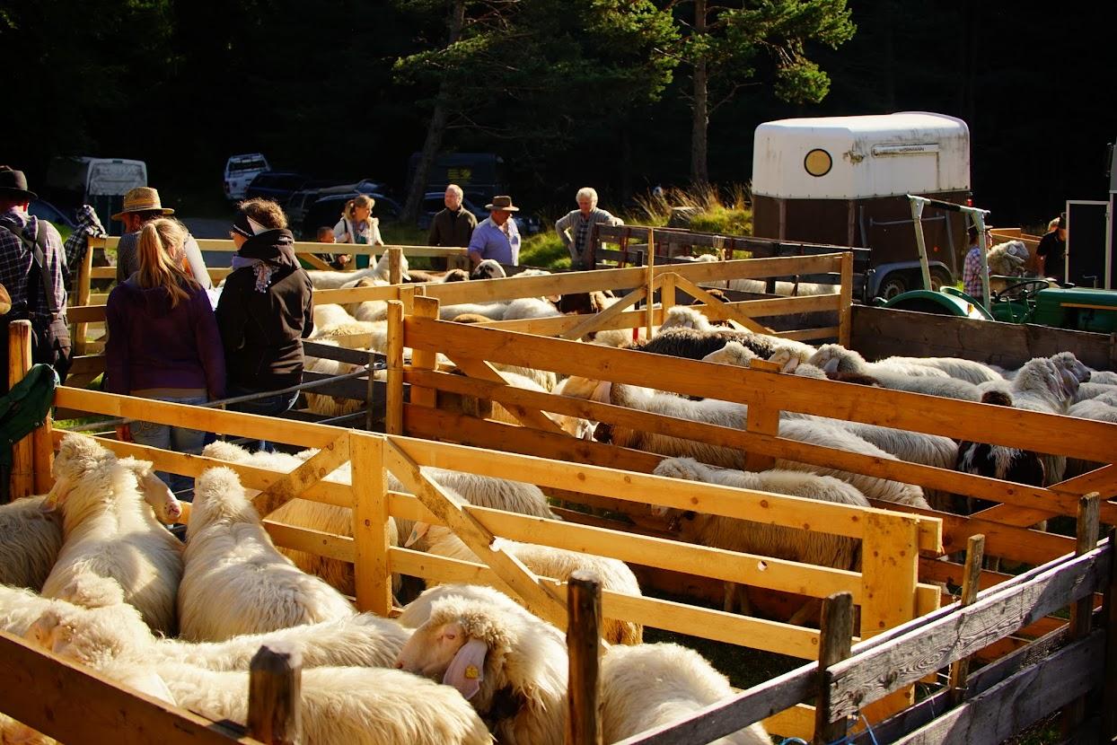Schaffscheid-сортировка овец в Баварии. Миттенвальд. -