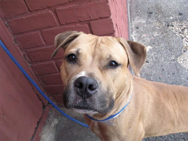 Help rescue NY dog JANE a BEAUTIFUL 2yo F Tan