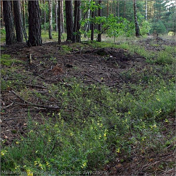Melampyrum pratense - Pszeniec zwyczajny