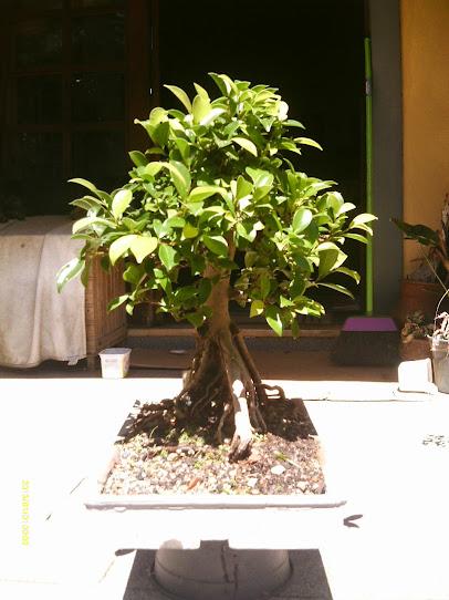 Ficus Microcarpa var. Indica... - Página 2 IMAG0387