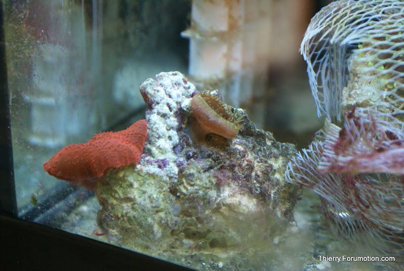 Actinodiscus sp (Red Mushrooms) DSC04828