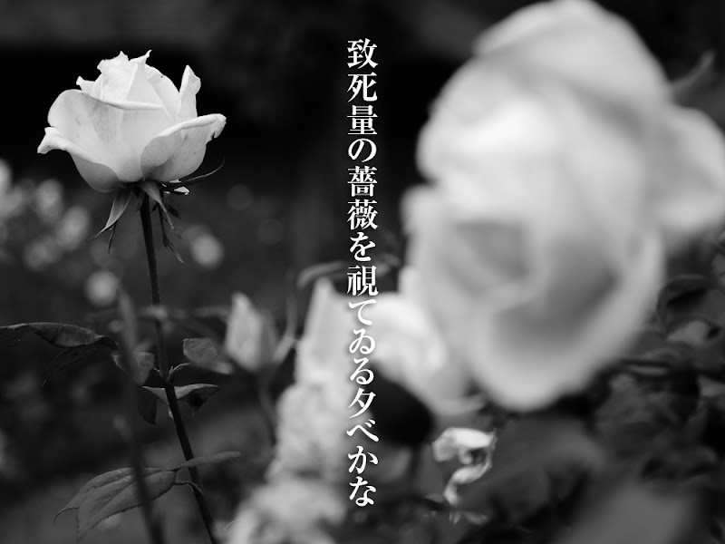 致死量の薔薇を視ている夕べかな