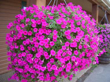 Chăm sóc hoa dạ yến thảo