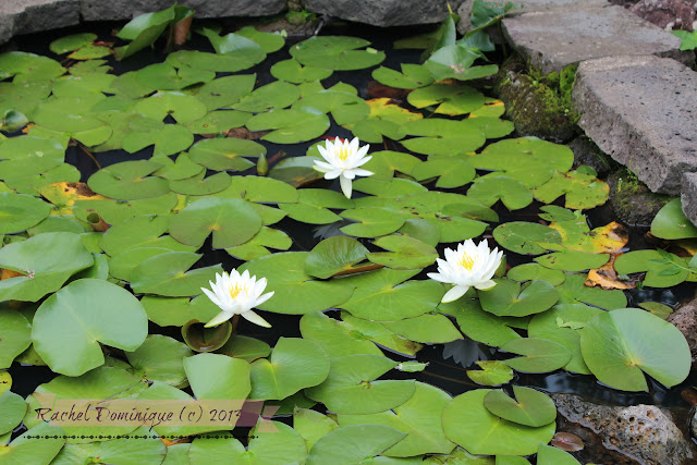 A whole pool of waterlilies near the restaurant which we had lunch