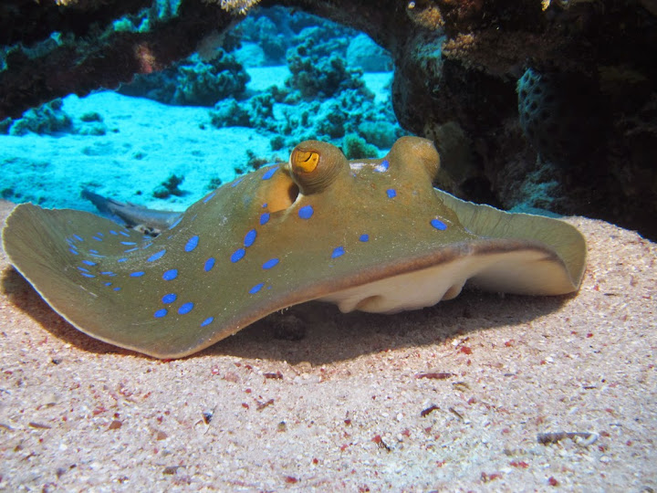 Bluespotted Stringray, Thailand