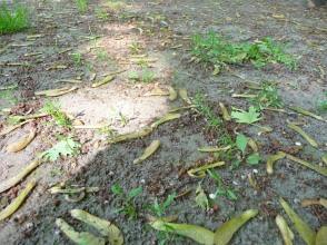 Klon srebrzysty Acer saccharinum skrzydlaki pod drzewem