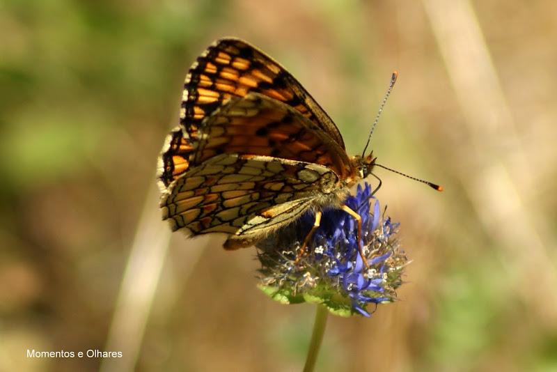 Euphydryas aurinia. borboleta, Castanheira de Pêra