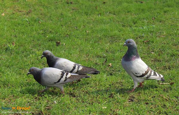 Gołębie - Ruszajcie w Drogę!