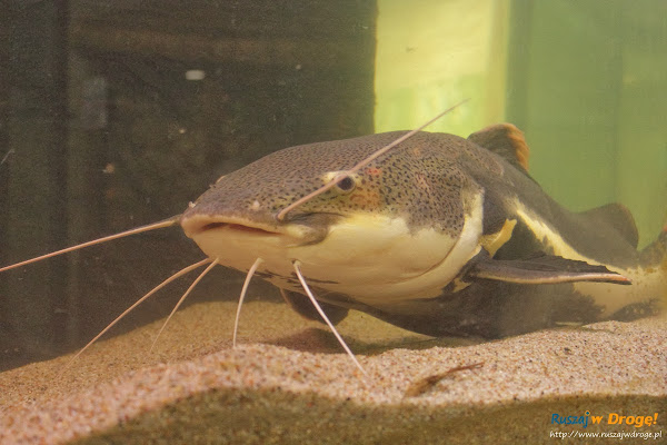 Tuchlino Park Egzotycznych Zwierzaków - wielka ryba