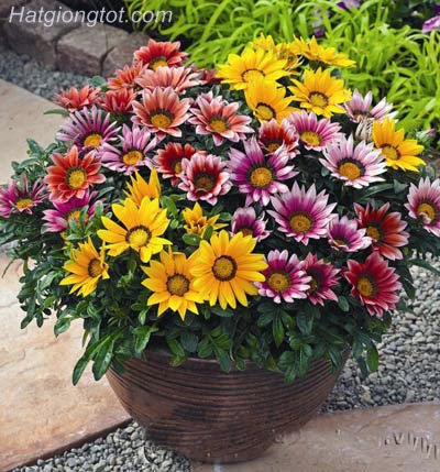 hoa cúc Gazania đẹp