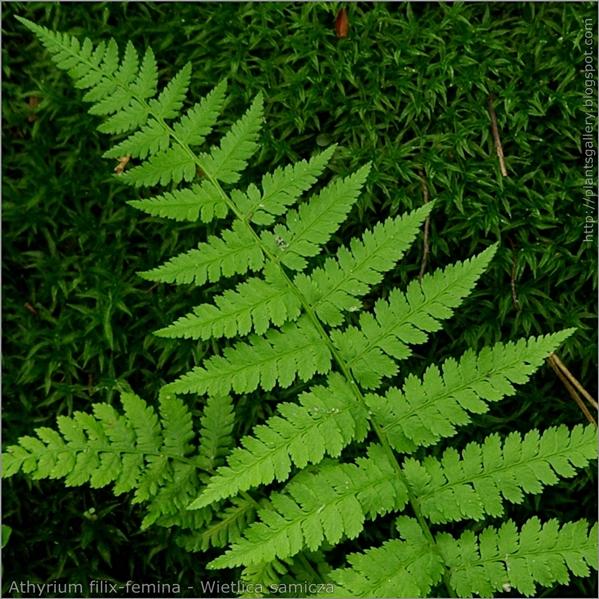 Athyrium filix-femina leaf - Wietlica samicza liść