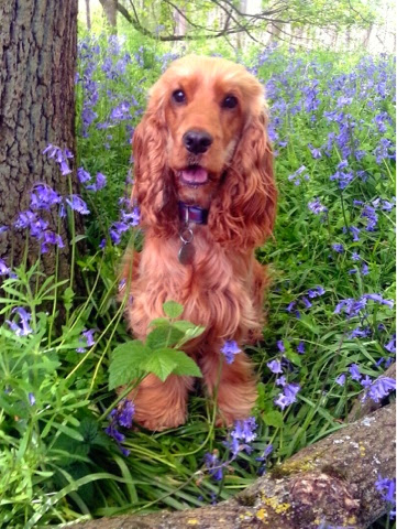 Lottie English cocker spaniel golden red bluebells