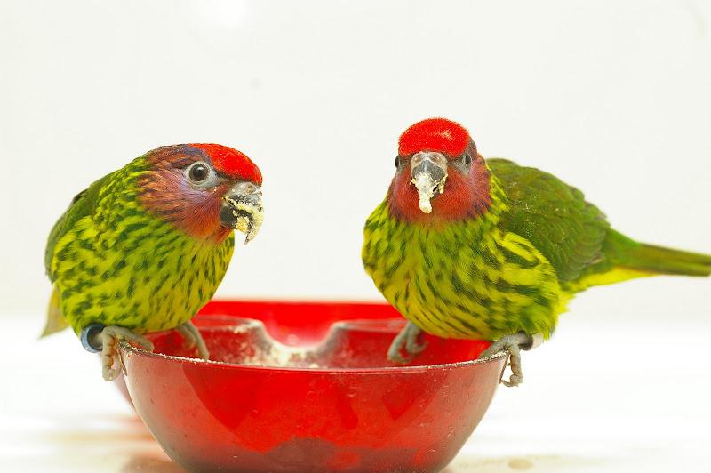 新寵物-戈迪氏吸密鸚鵡