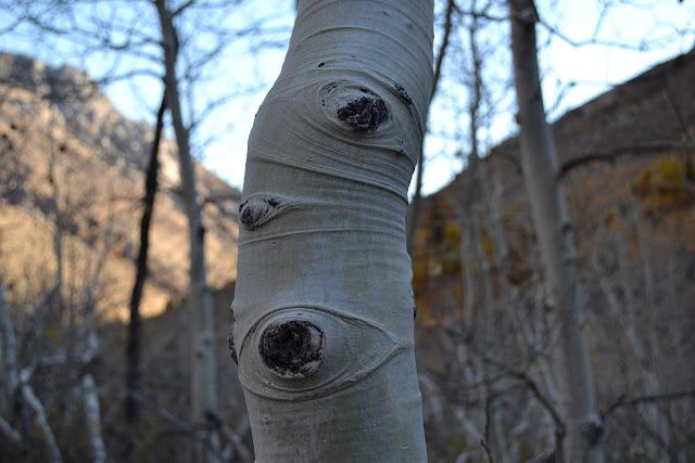 folded bark on an alder