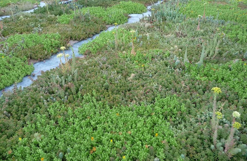 cubierta vegetal sedum en las cubiertas vegetales cantir epífita rizoma