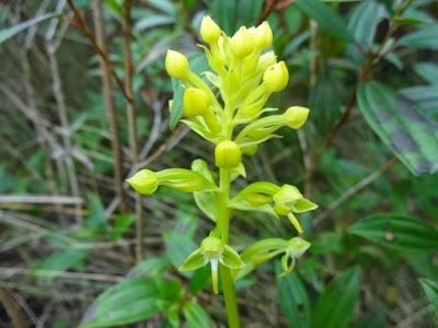 Habenaria paranaensis http://sites.google.com/site/florasbs/home  São Bento do Sul - Santa Catarina