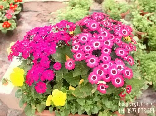 Mua hạt giống hoa chất lượng ở Hà Nội