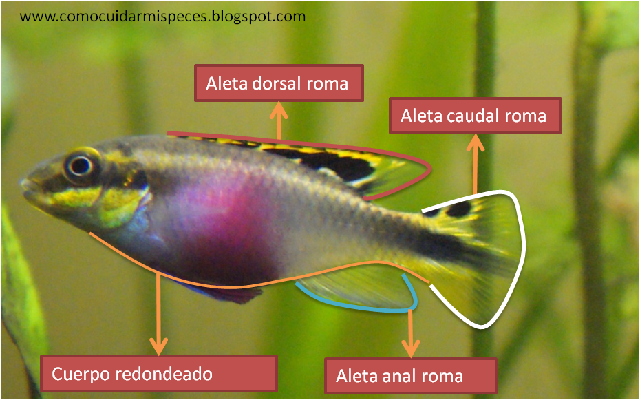 Kribensis Diferencias Sexuales en imágenes - Pelvicachromis Pulcher