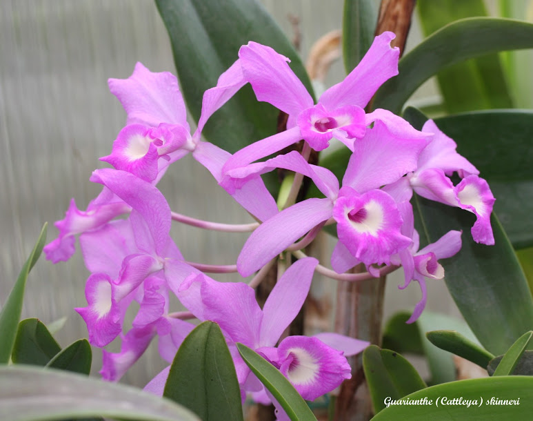 Guarianthe (Cattleya) skinneri IMG_8236b%2B%2528Large%2529