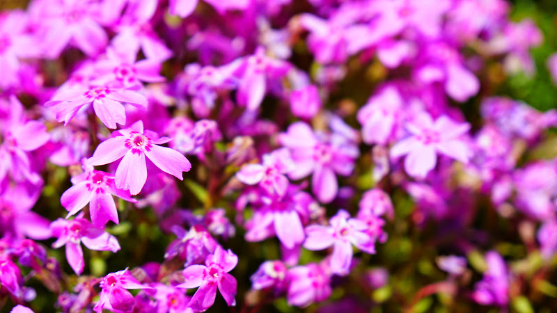 富士芝桜まつり 写真16
