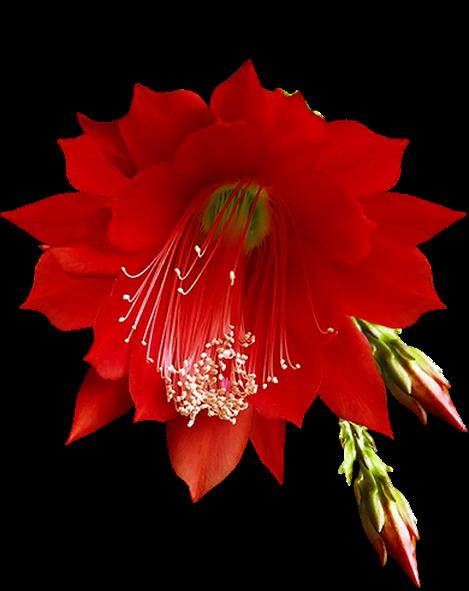 flor vermelha