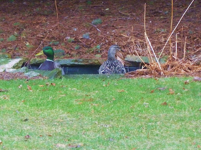 Ducks in our Backyard Pond