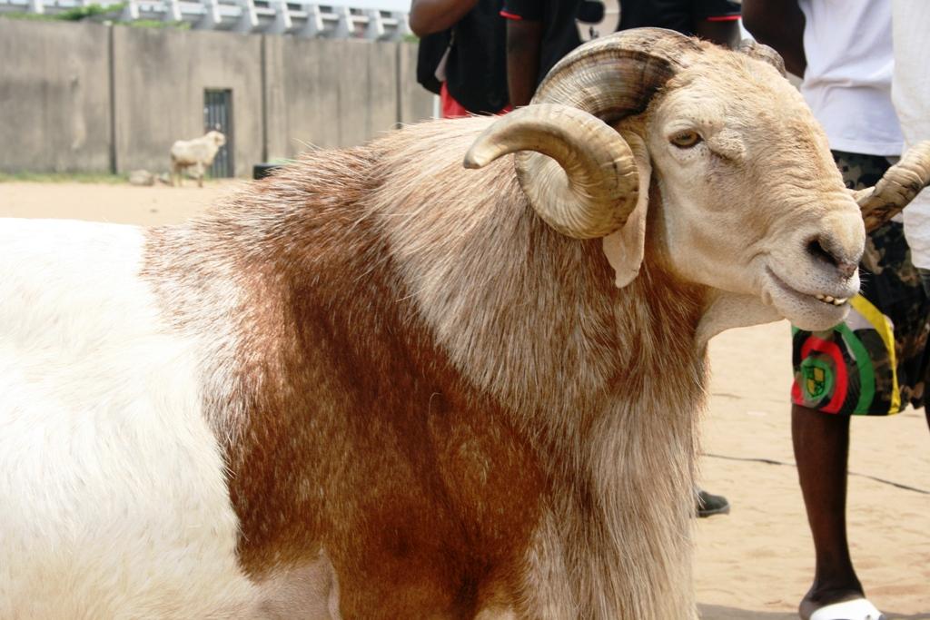 Image result for ram in nigeria