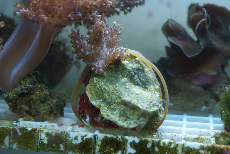 Capnella imbricata (Kenya Tree Coral) DSC05168