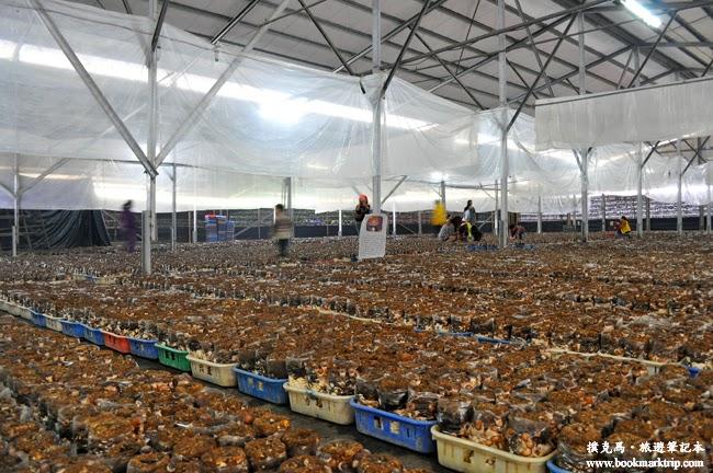 百菇莊採菇