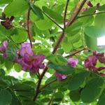 Robinia pseudoacacia Globosa
