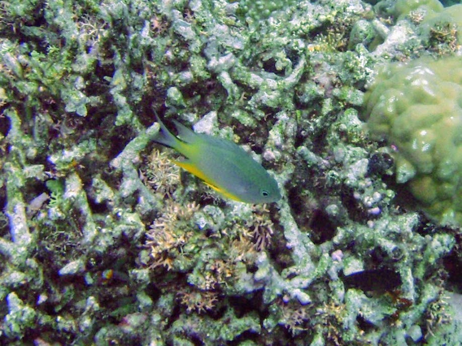 Unidentified Damselfish, Naigani Island, Fiji.