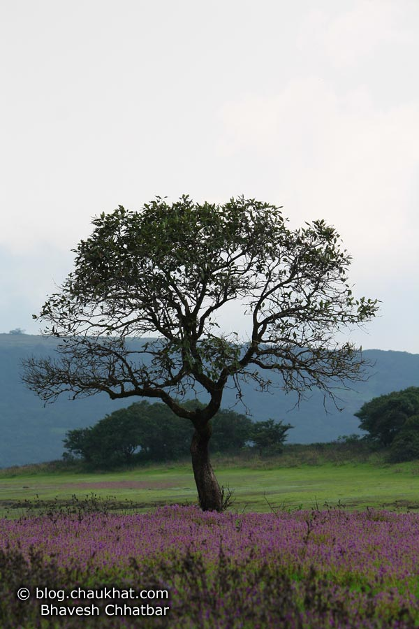 Tree landscape at Kas Plateau