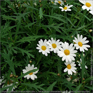 Tanacetum cinerariaefolium flowers and leafs - wrotycz dalmatyński kwiaty i liście