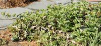https://lh6.googleusercontent.com/-dG5Sy9VOa6A/T3quI9VgbfI/AAAAAAAAAp4/aJaGRfjuVpg/s1600/Cucumis-melo-cantaloupes-DSC00991-California-1.jpg