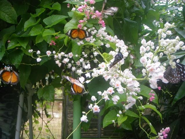 Taman-Rama-rama-Penang-Butterfly-Farm