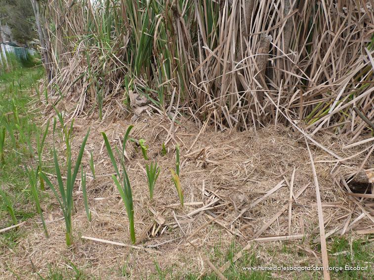 Enea ingresando al terreno del pasto