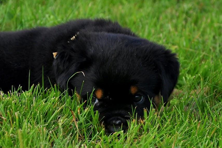 Mały szczeniak w trawie rottweiler