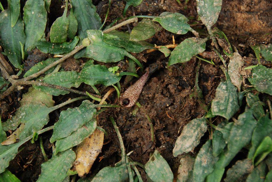 Криптокорина маленькая (Cryptocoryne minima)